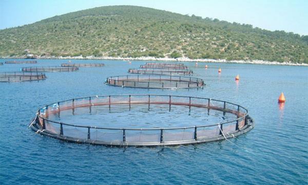 Норвегия запретит экспорт мальков лосося в РФ