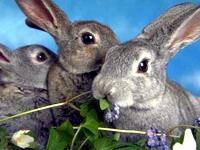 В Голландии построили ферму, на которой производят молоко кроликов