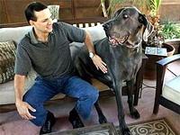 Гигантская собака подала заявку в Книгу рекордов Гиннесса